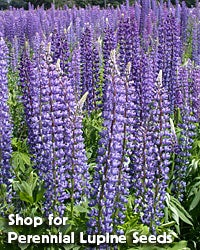 Shop for Lupine perennis - Wild Perennial Lupine