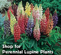 Shop for Perennial Lupine Plants