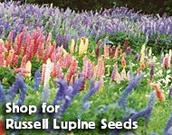 Shop for Lupine polyphyllus - Russell Lupine