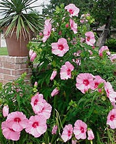 Hibiscus Lady Baltimore