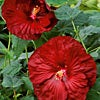 Hibiscus Robert Fleming
