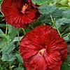 Hibiscus Robert Fleming