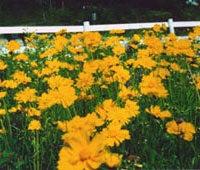 Perennial Coreopsis