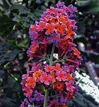 Butterfly Bush Bicolor