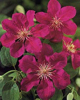clematis the queen of vines. Black Bedroom Furniture Sets. Home Design Ideas