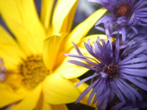 Perennial sunflowers and asters