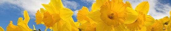Dutch Master Daffodil Bulbs