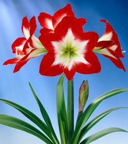 Amaryllis Full House