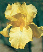 Bearded Iris Harvest of Memories