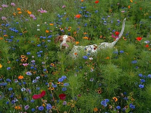 Midwestern Wildflowers