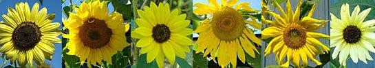 Sunfower variations