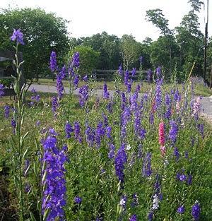Northeastern Wildflowers