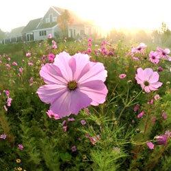 Cosmos Wildflowers