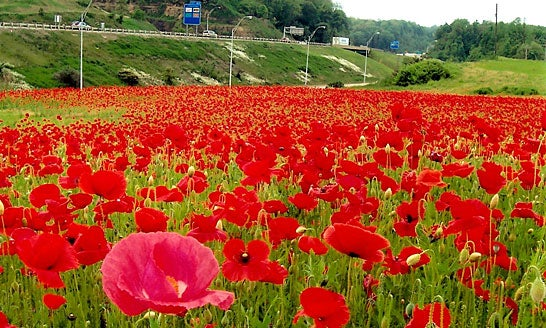 Red Poppy Field in Virginia