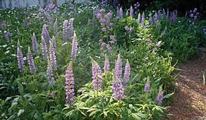 Lupines in June