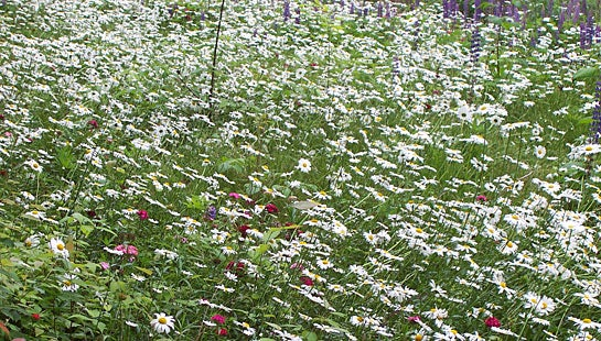 Northeastern Wildflower Meadow