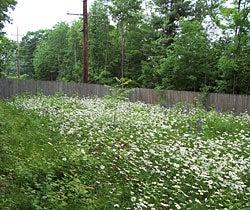 Northeastern Wildflower Meadow