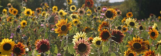 Sunflower Wildflowers
