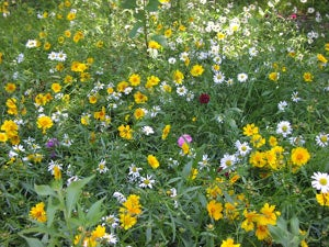 Wildflowers over Septic