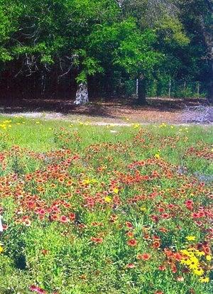 blanketflowers