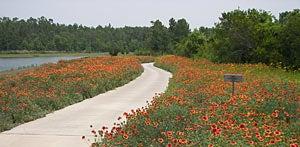 Gaillardia wildflowers