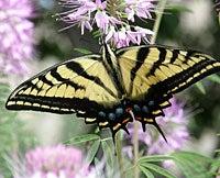 Butterfly on southwest flowers