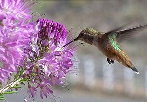Hummingbird on rocky mountain bee plant