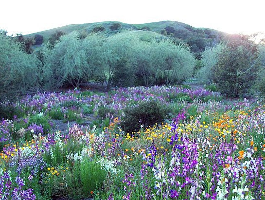 Southern California meadow in bloom