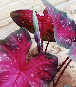 Caladium Red Flash
