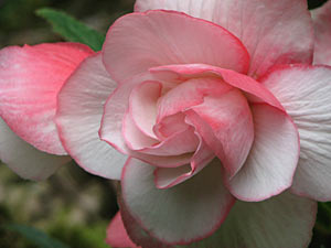 Red & White Bicolor Begonia