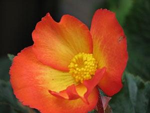 Picotee Begonia