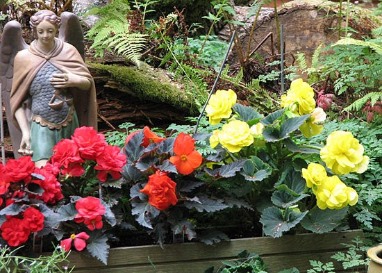 Mixed Begonias