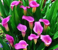 Calla Super Gem
