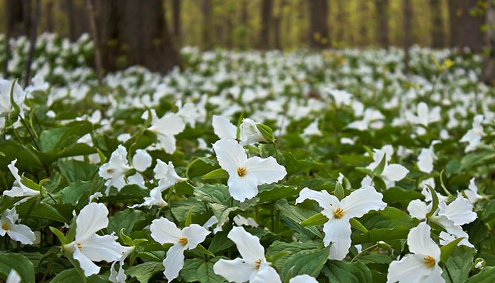 Woodland wildflowers woodland trillium mightylinksfo