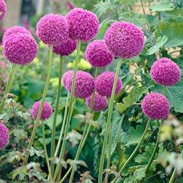 How To Grow Allium