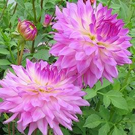 Dahlia Flower Bulbs