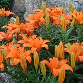 Lily Flower Bulbs