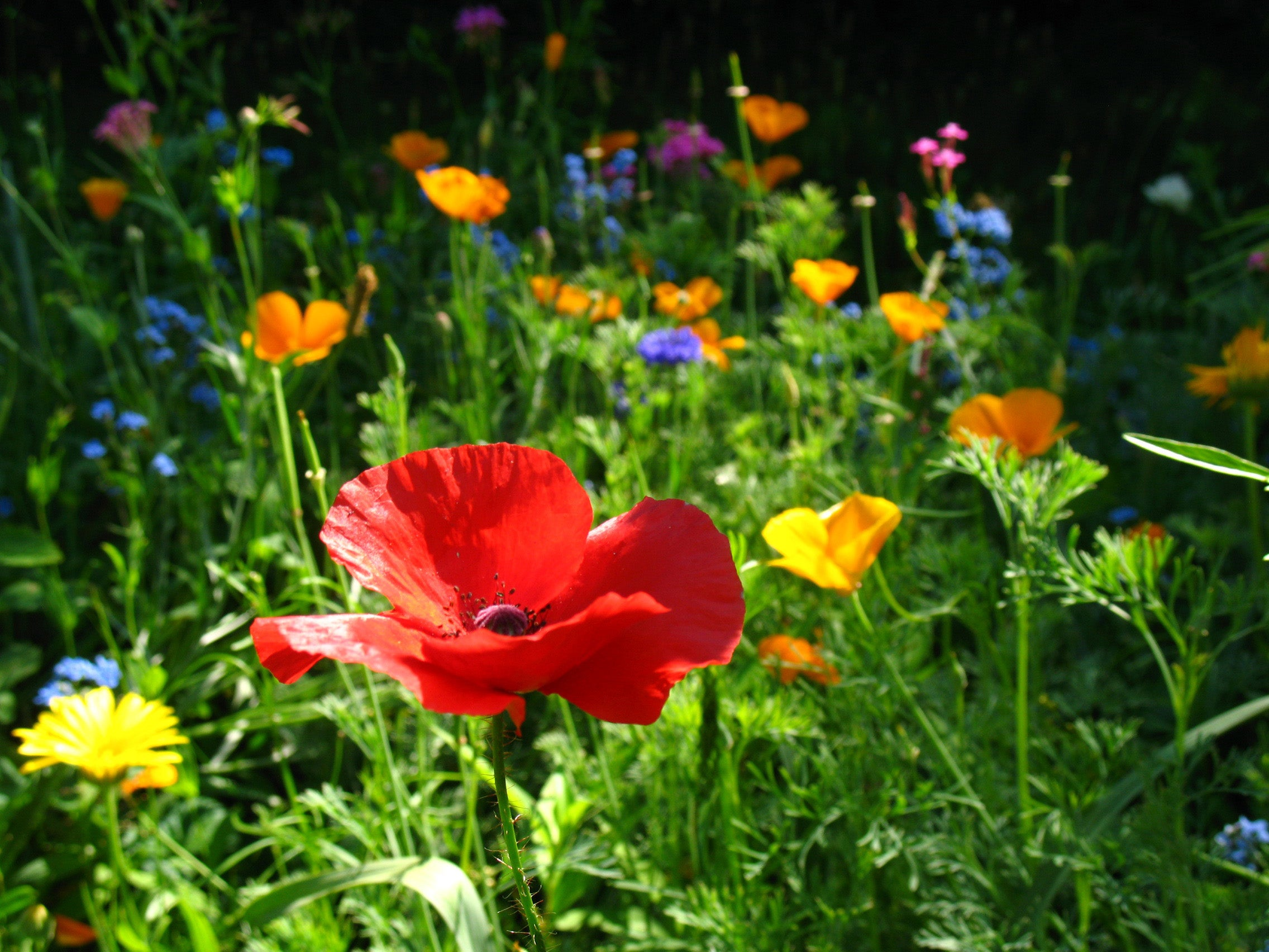 Replace Your High Maintenance Lawn With Easy Care Wildflowers