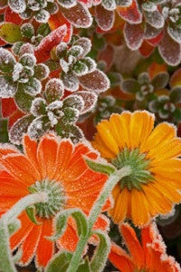 Frost on calendula flowers