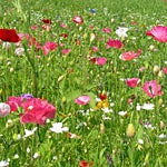 Still Time to Plant Wildflower Seed