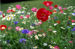 All Annual Mix - Wildflower Seed