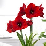 Amaryllis Red Lion - Fall Planted Bulb