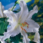 Oriental Lily Coldplay - Fall Planted Bulb
