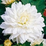 Spring Bulb - Dahlia Snow Country