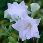 Perennial - Balloon Flower Astra Double White