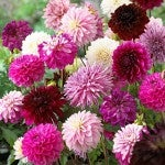 Dahlias Purple Rain Mix