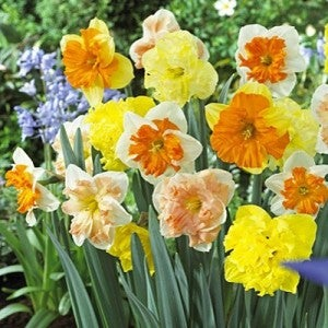 Butterfly Daffodil Mix