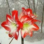 Full House Amaryllis - Customer Photo