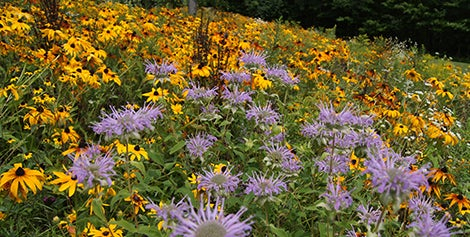 Monarda and Black Eyed Susan