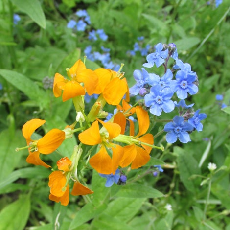 Siberian Wallflower and Chinese Forget Me Nots